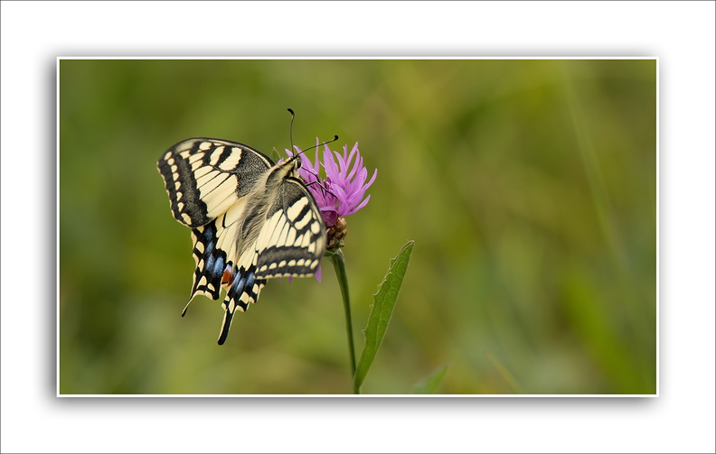 Machaon en plaine du Bischwald.jpg